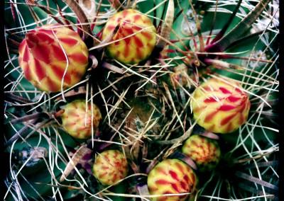 Barrel Cactus Bulbs