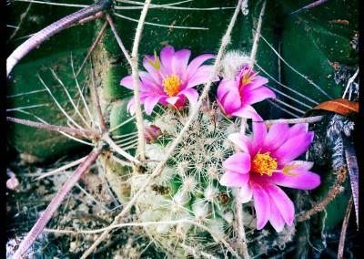 Micro Cactus Bloom