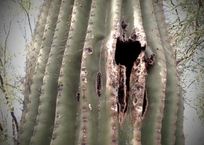 Saguaro Nest by Jason Willis