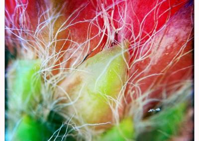 Torch Cactus Bloom (Macro Detail 01)