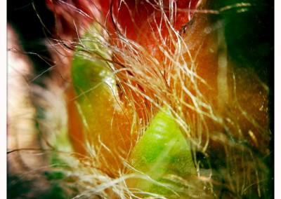 Torch Cactus Bloom (Macro Detail 05)
