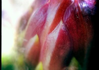 Torch Cactus Bulb (Macro Detail 01)