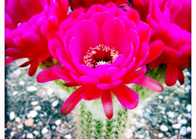 Torch Cactus Flower Sextet 01